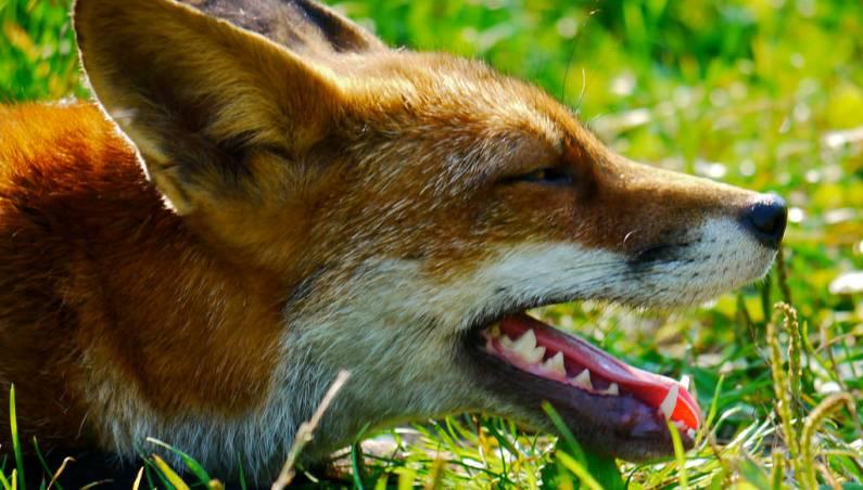 rabid foxes