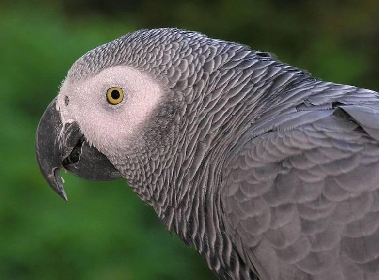 Parrot Uses Alexa