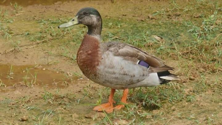 trevor duck