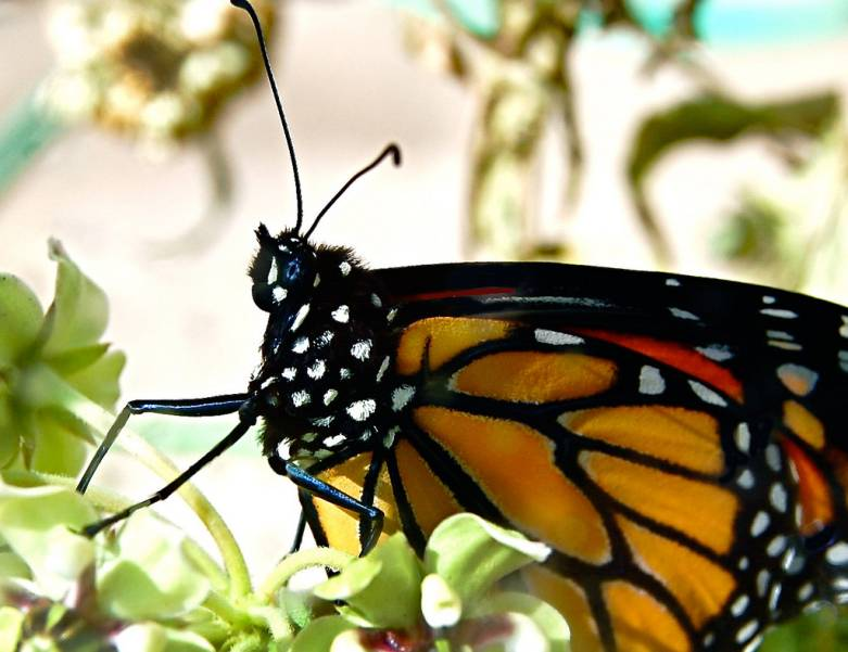 monarch extinction