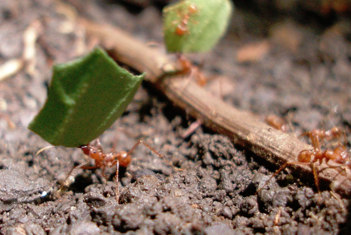 leafcutter ant gas