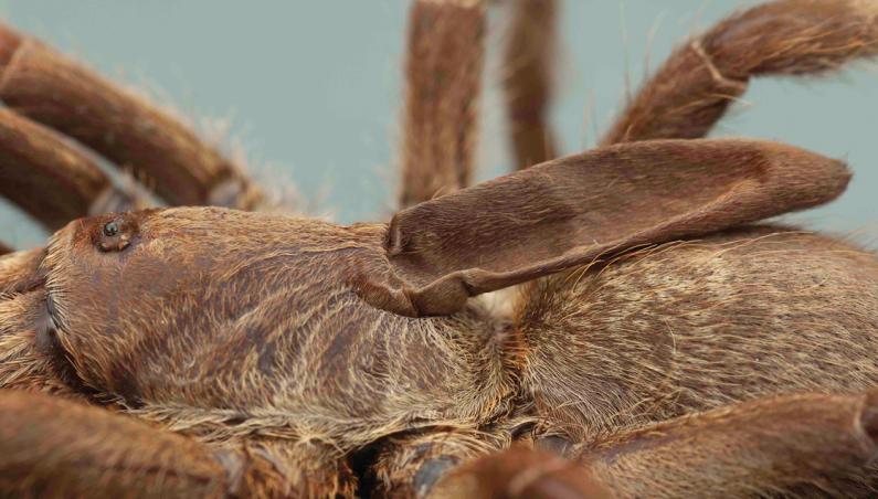 horned tarantula