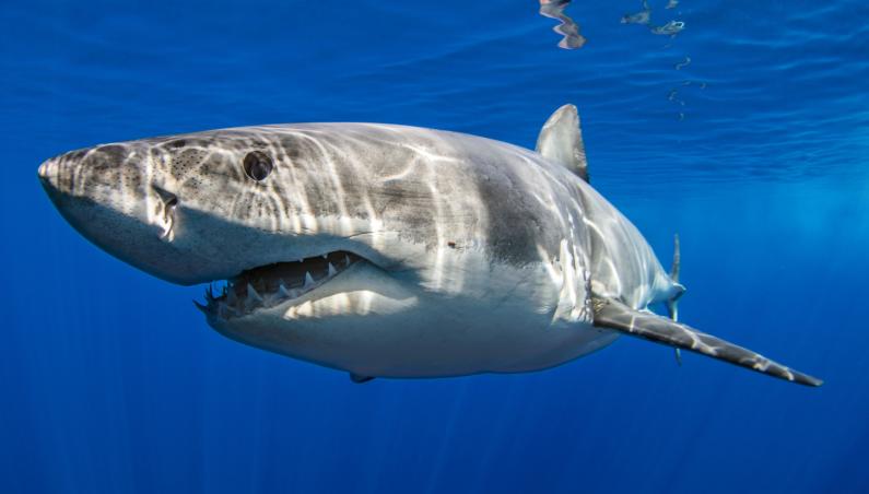 shark dna