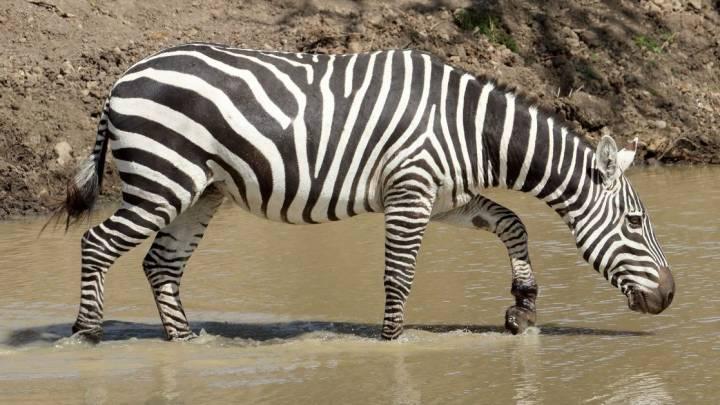 why zebras have stripes