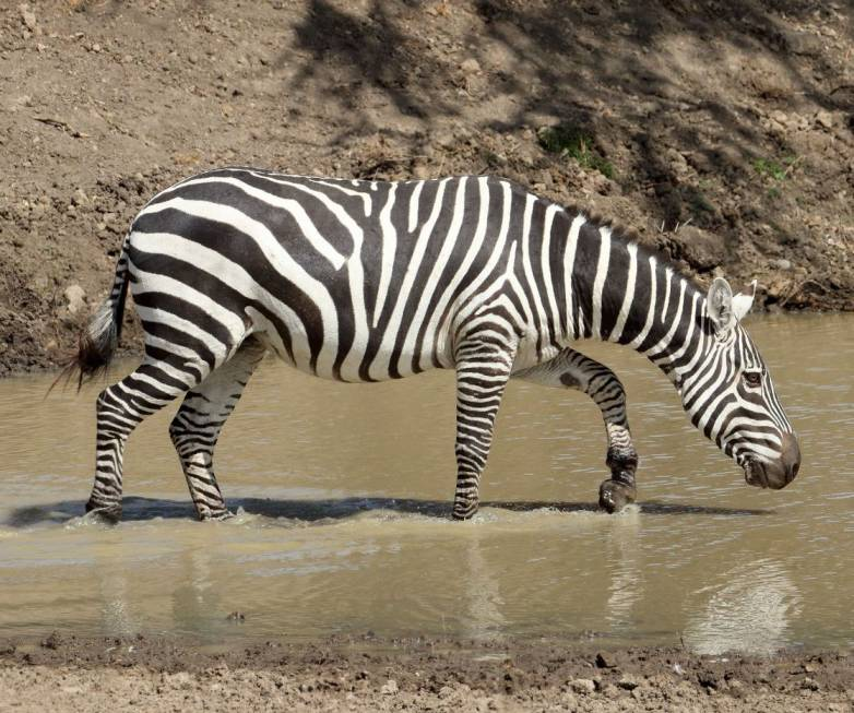 why zebras have stripes