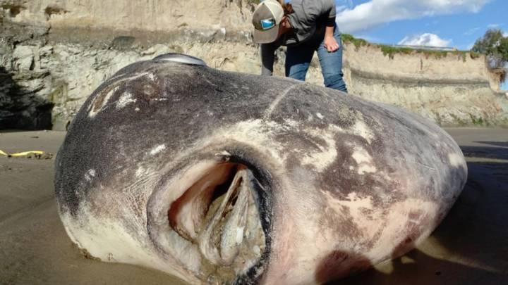 hoodwinker sunfish