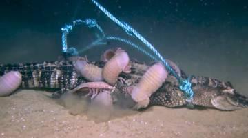 dead alligator sea floor