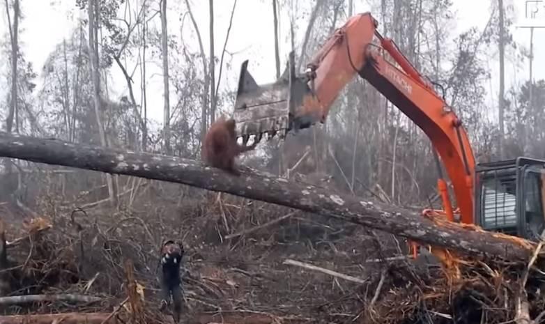 orangutan vs excavator