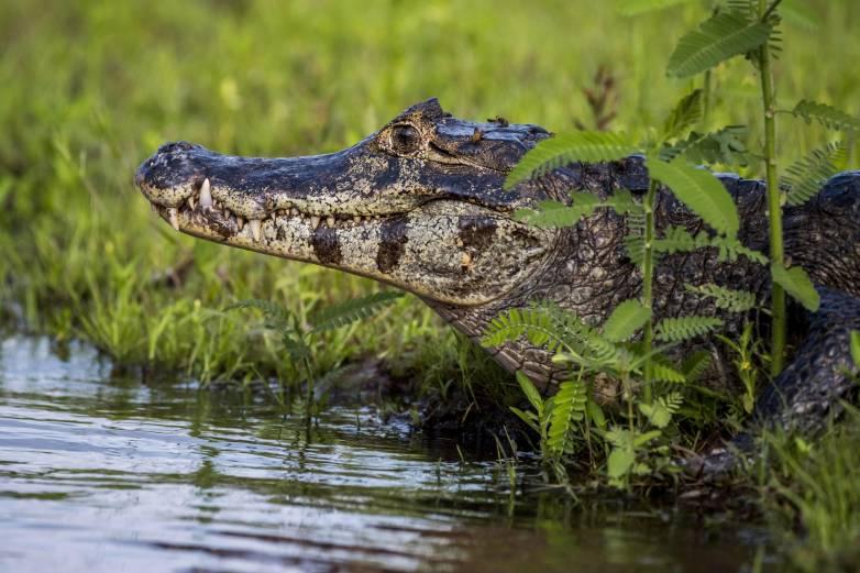 vegetarian croc