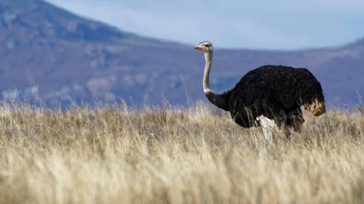 giant bird europe