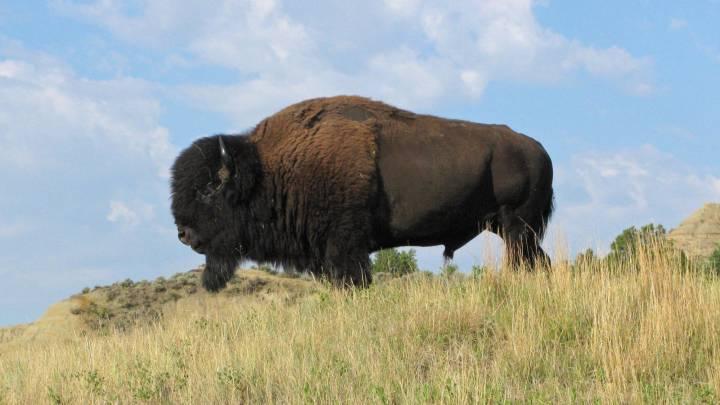 yellowstone bison charge