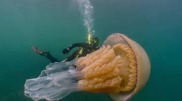giant jellyfish