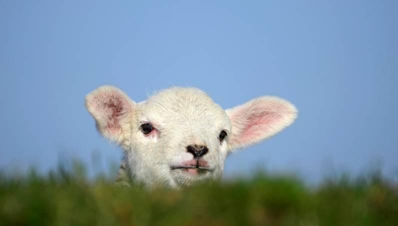 lamb doping