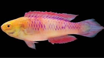 vibranium fish
