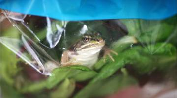 frogs in salad