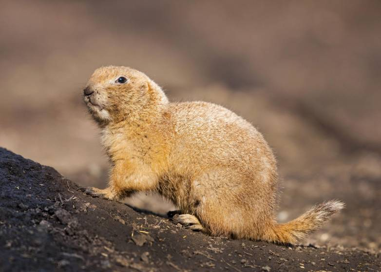 prairie dog plague