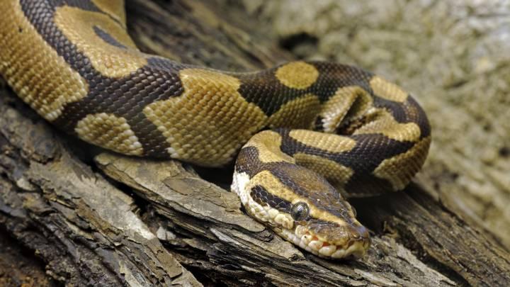 fond du lac high school snake