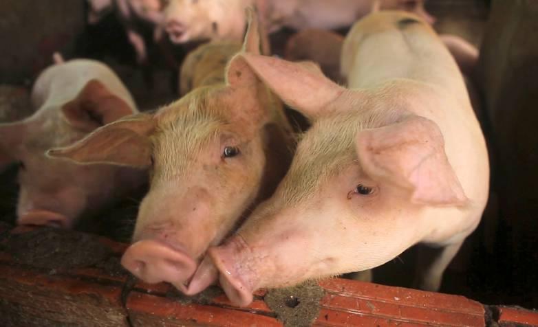 mutant pigs
