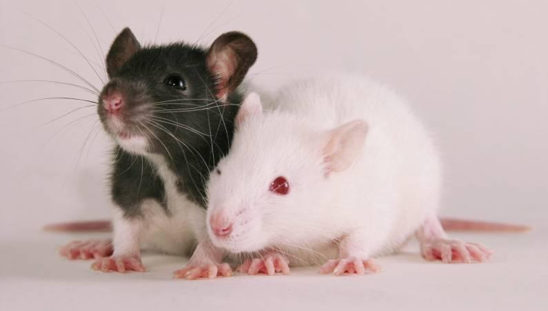 rat van