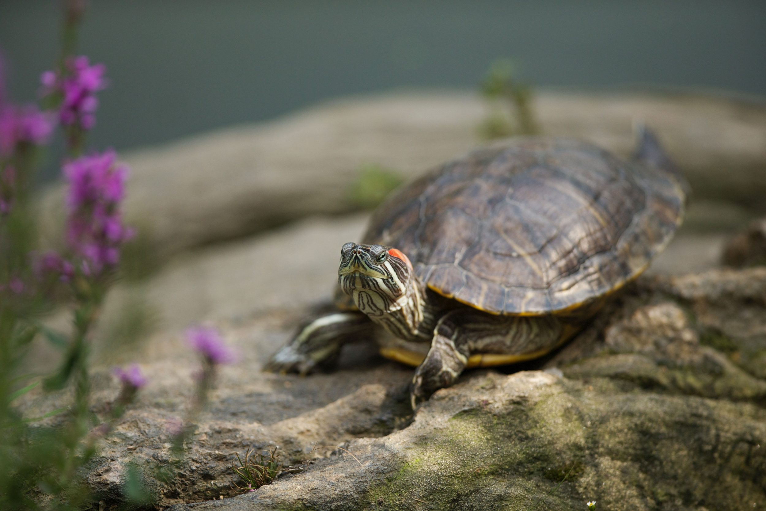 Cdc Stop Kissing Your Pet Turtle Bgr