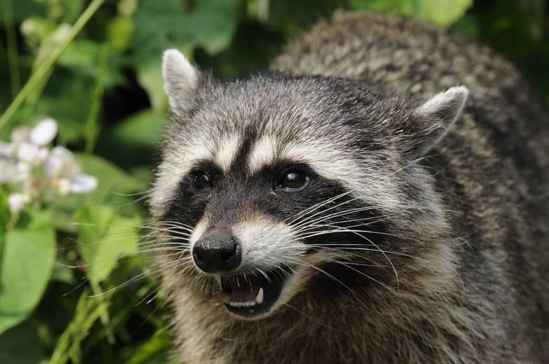 raccoon library