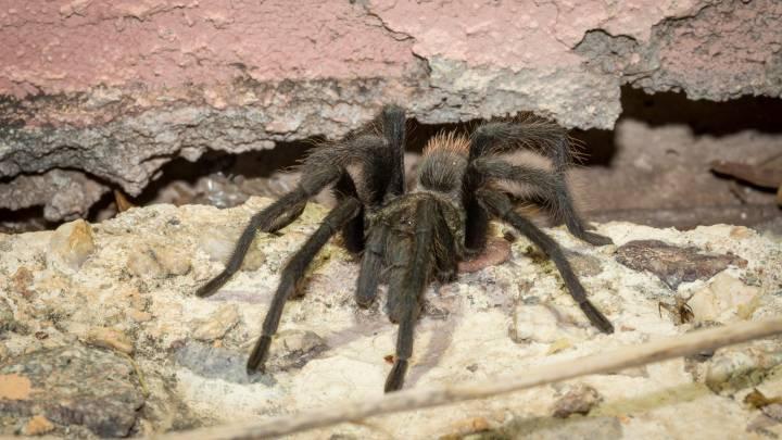 tarantula mating