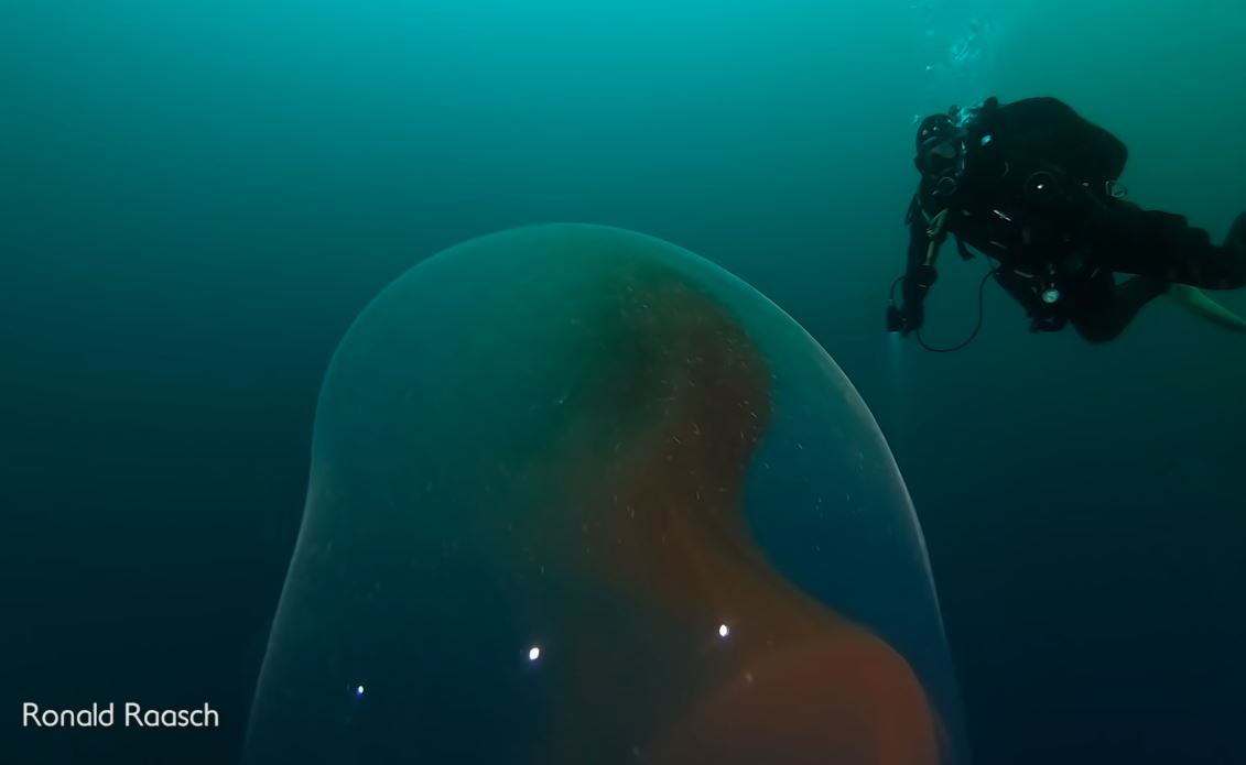 squid egg sac