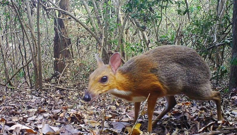 mouse-deer