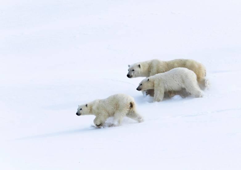 polar bear invasion