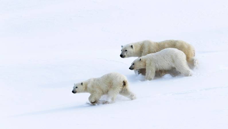 polar bear invasion