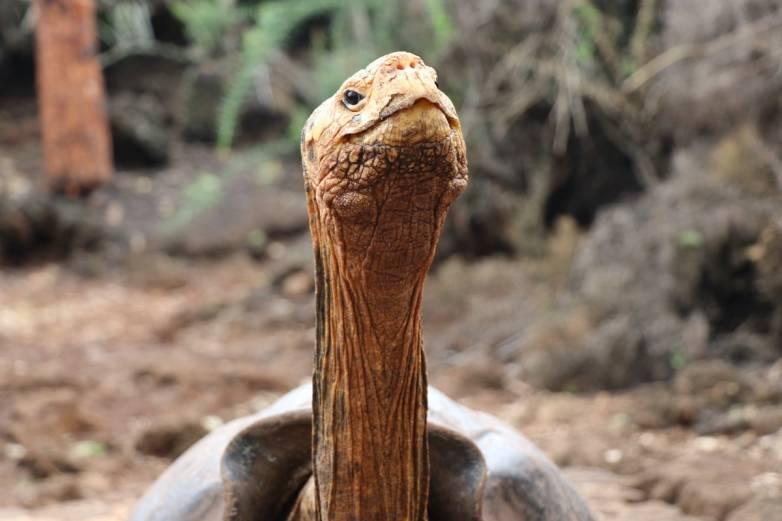 Diego Giant Tortoise