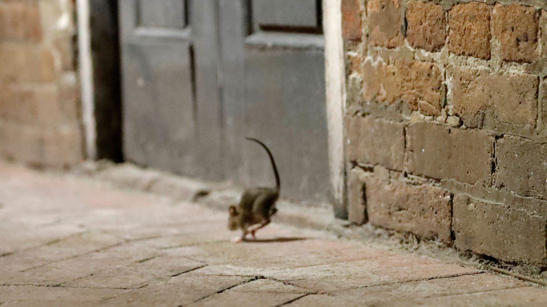 coronavirus rats