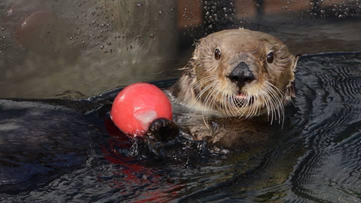 otter juggling