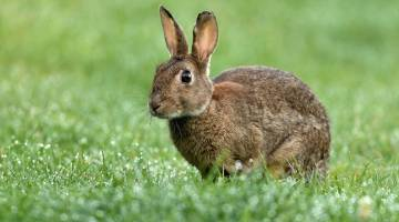rabbit virus