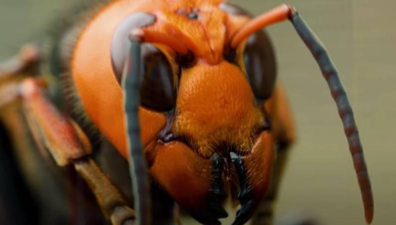 Murder Hornets Vs Honeybees