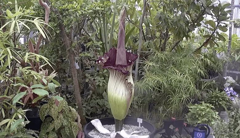 corpse plant