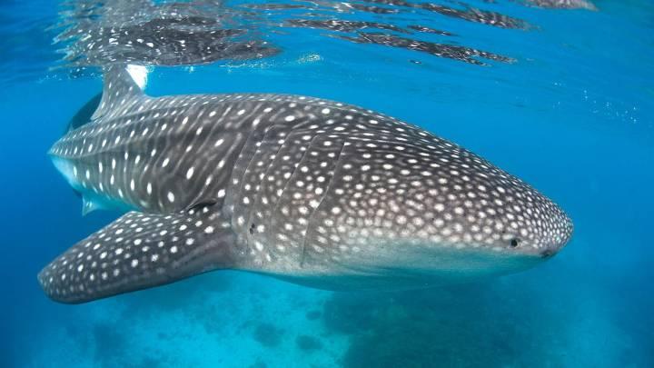 whale shark eyes