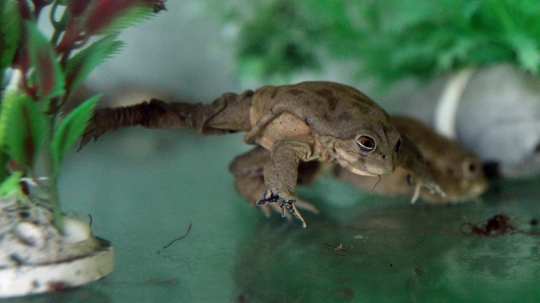 scrotum frog