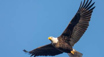 bald eagle drone