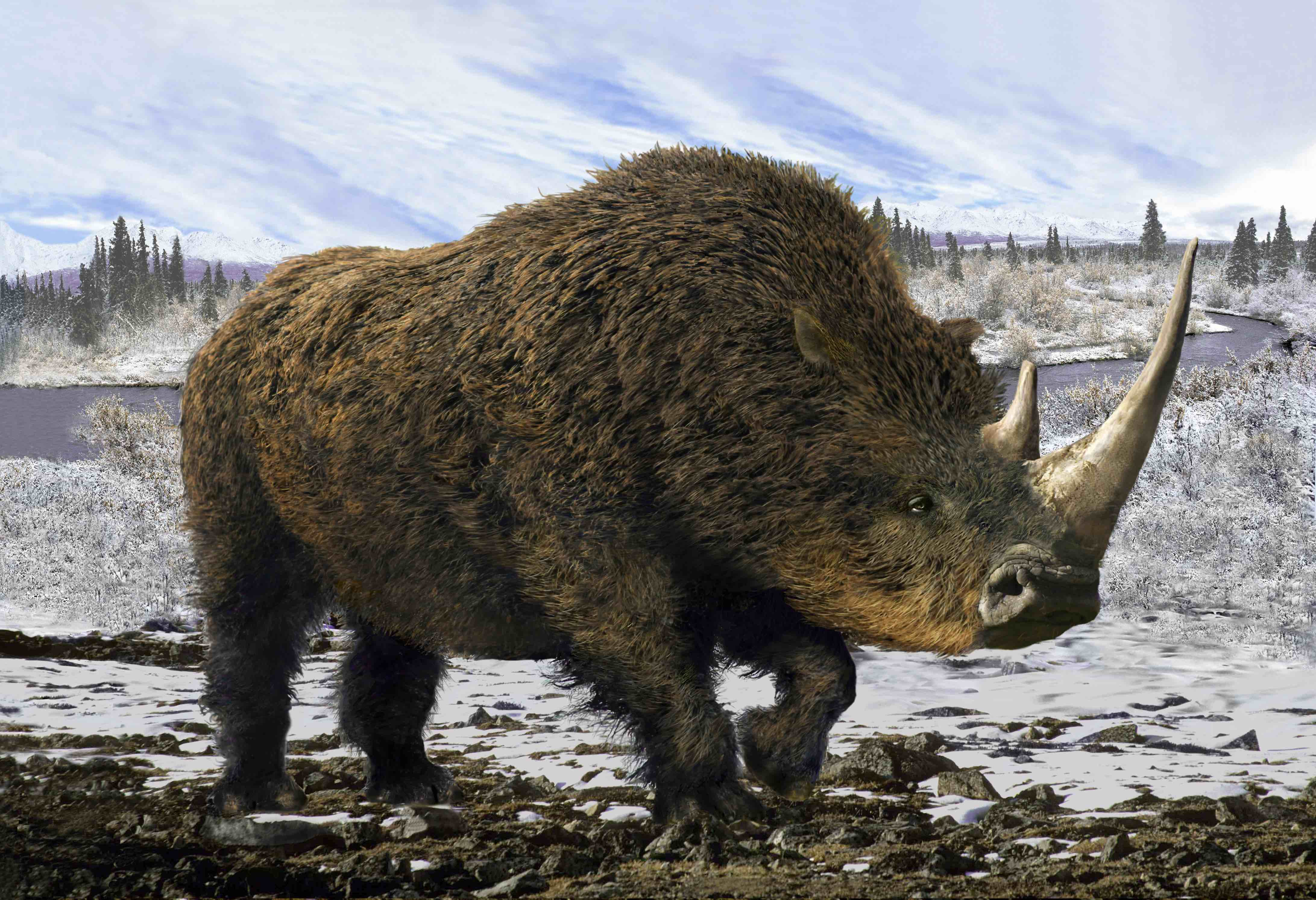 Good news: Humans aren't responsible for woolly rhino extinction