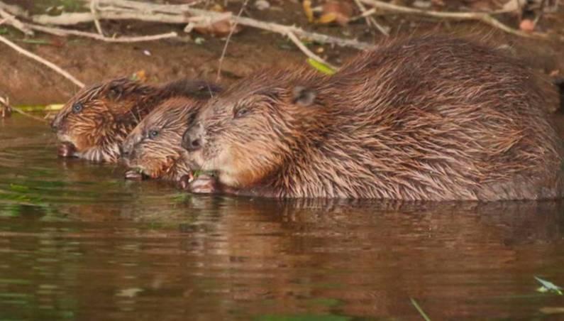 england beavers