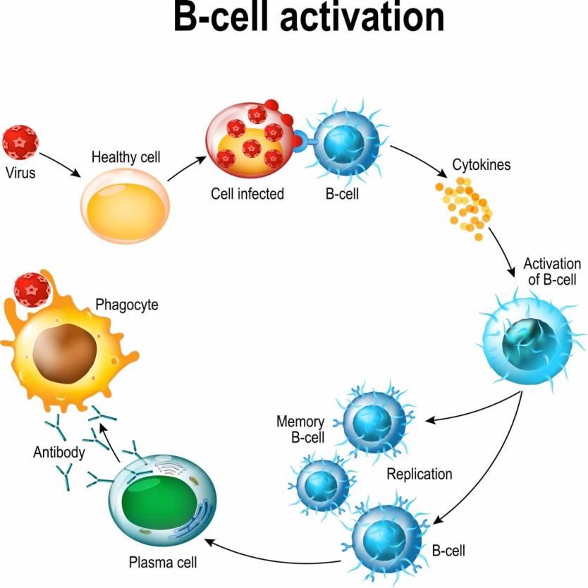 Coronavirus B Cells