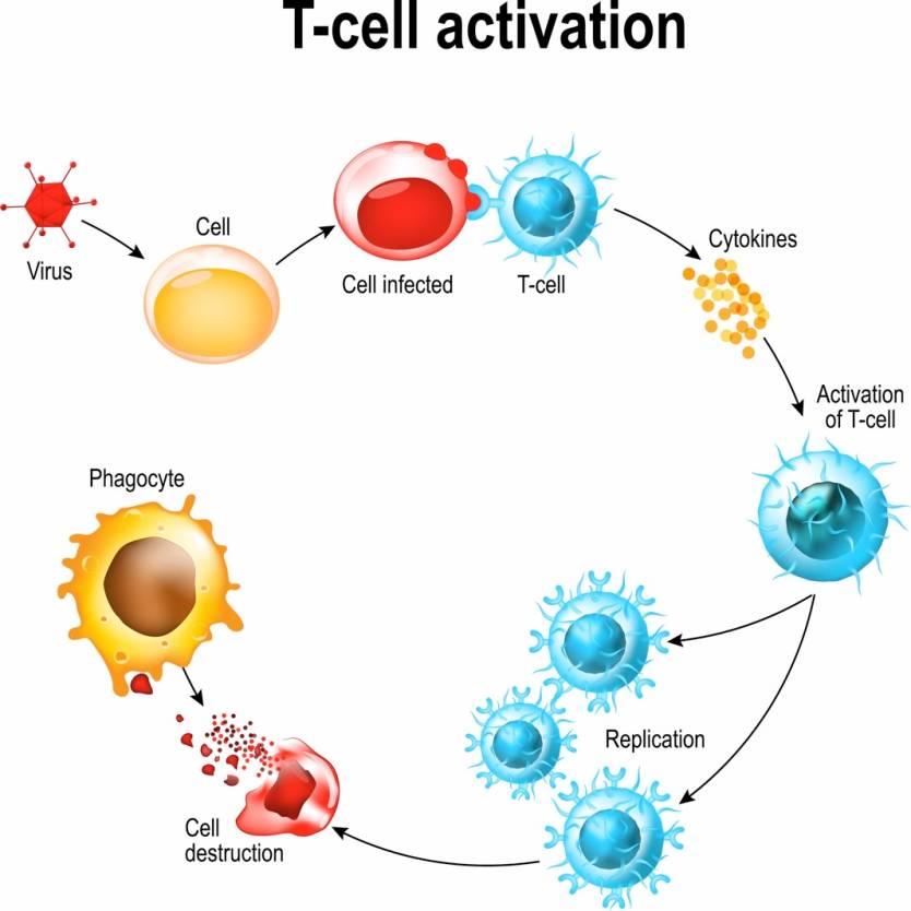 Coronavirus T Cells