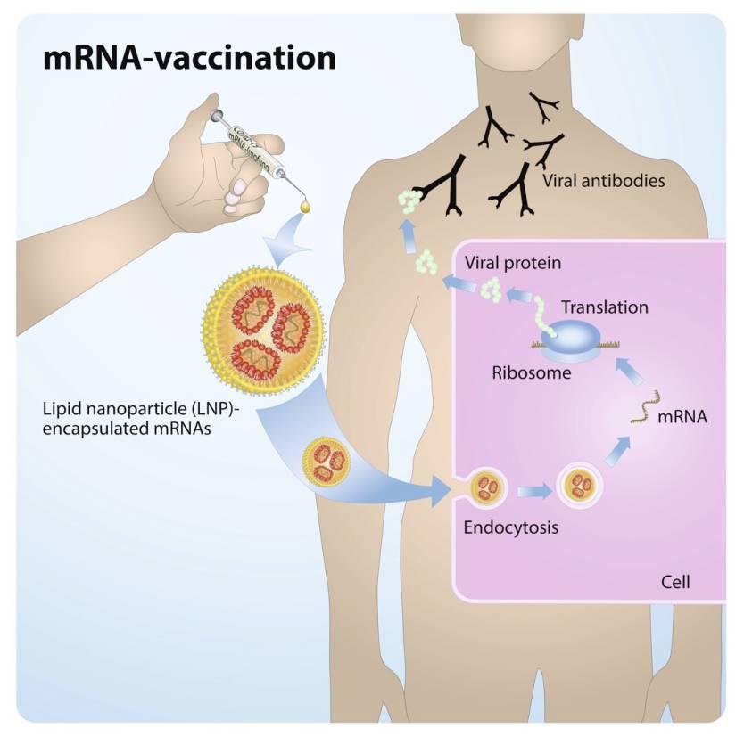Coronavirus mRNA vaccine