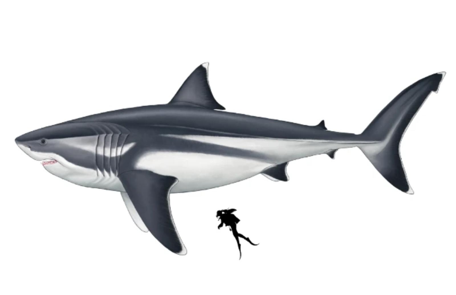 Great White Shark - Free Cape Cod News
