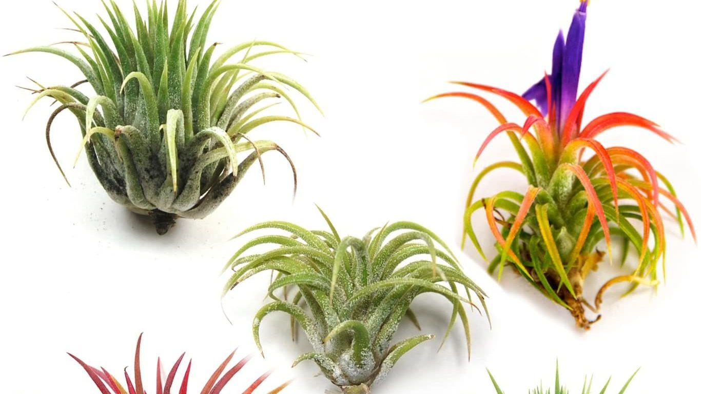 Best Set of Air Plants