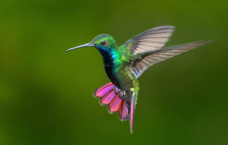 why hummingbirds hum