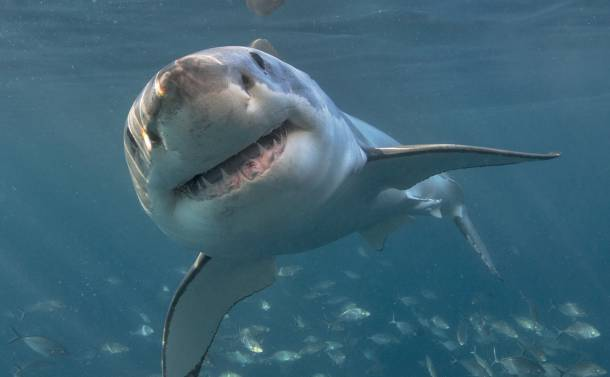 human faced shark