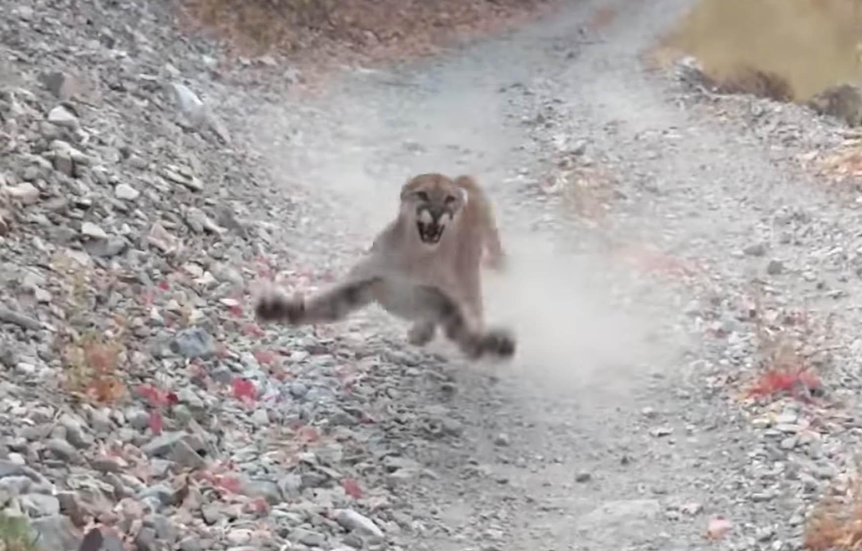 This video of a cougar stalking a man is absolutely terrifying