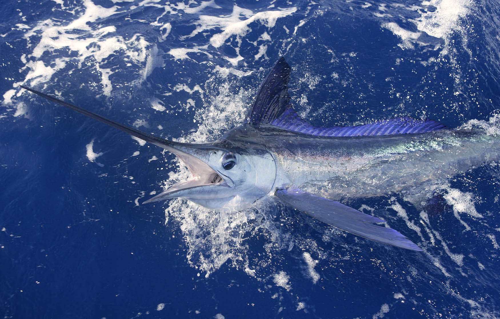 Swordfish are killing sharks on a regular basis, apparently